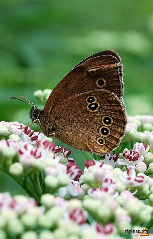 Fluture pentru o zi