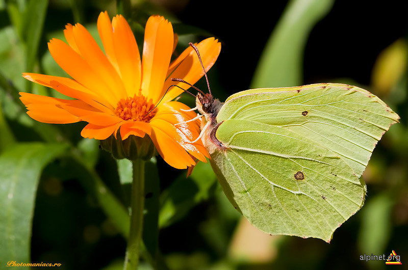 Fluture 2