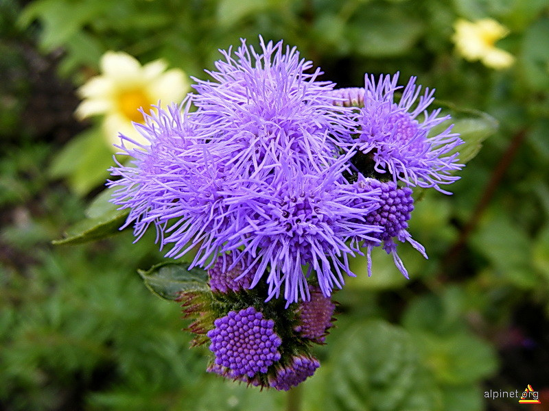 Fleur du Chamonix