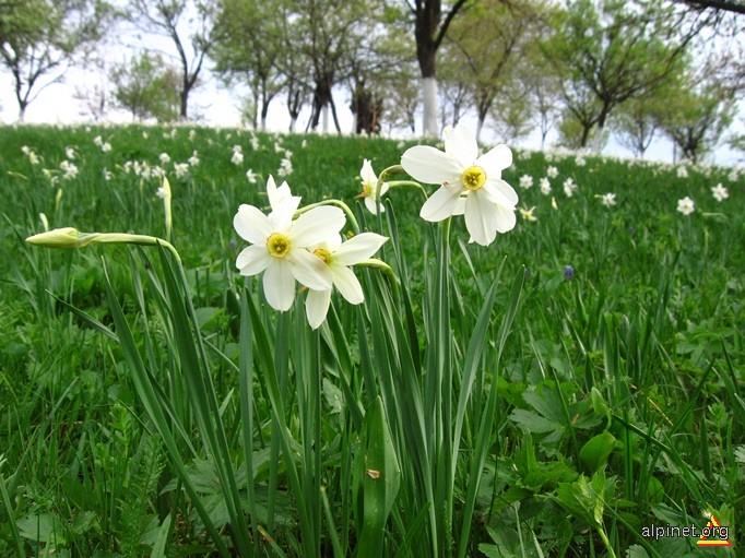 Narcise in Rezervația de la Tecșești