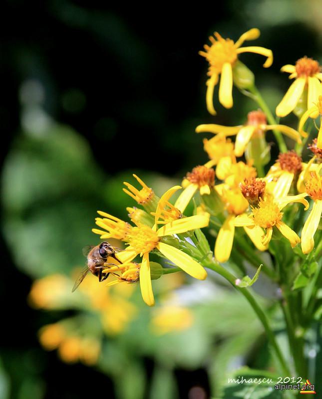 Bazu la polen