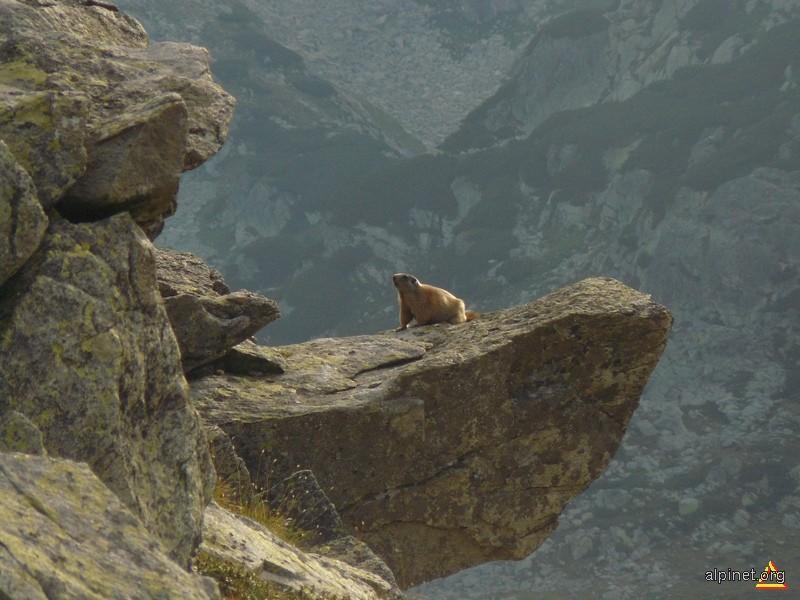Marmotă