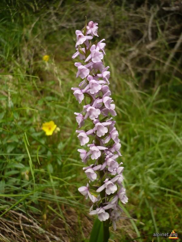 Orhideea Salbatica