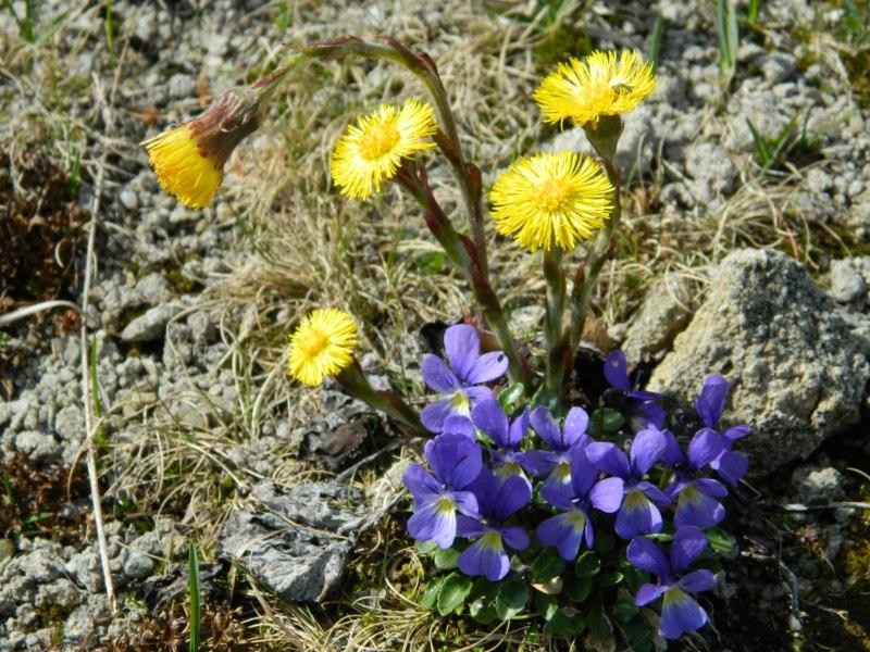 Floră Alpină